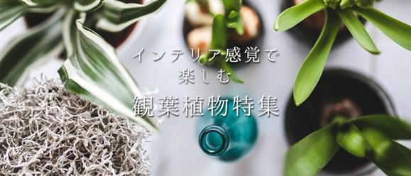 インテリア感覚で楽しむ観葉植物